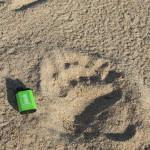 En binne med unge hadde tatt turen langs stranda. Dimensjoner på dette avtrykket!