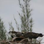 Ørnepar